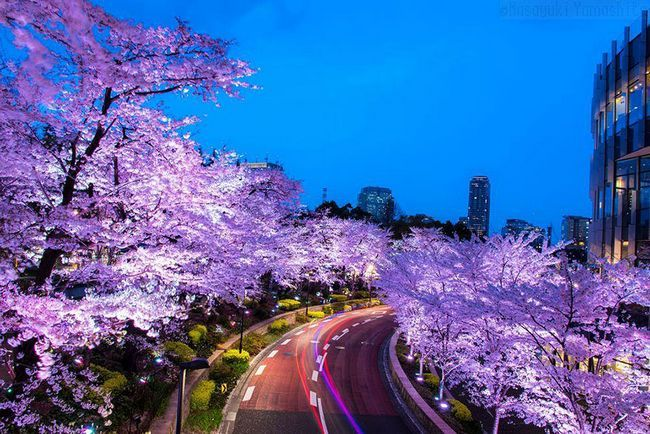 17 Магічних фото цвітіння японської вишні