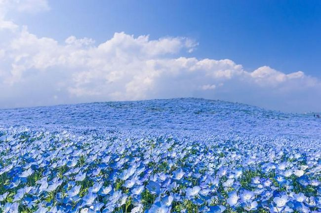 Квіткові поля навесні в японському парку Хітачі
