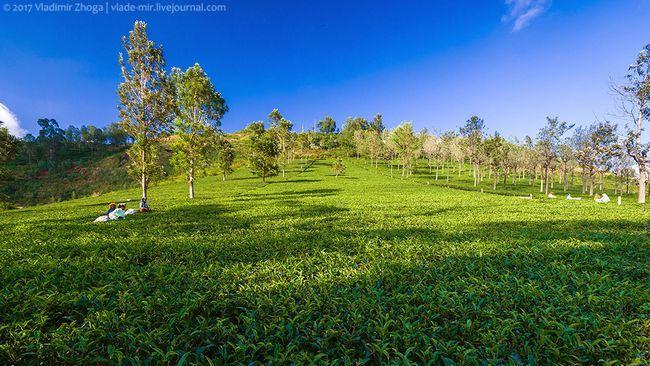 Індія - фотозарисовки з чайних плантацій