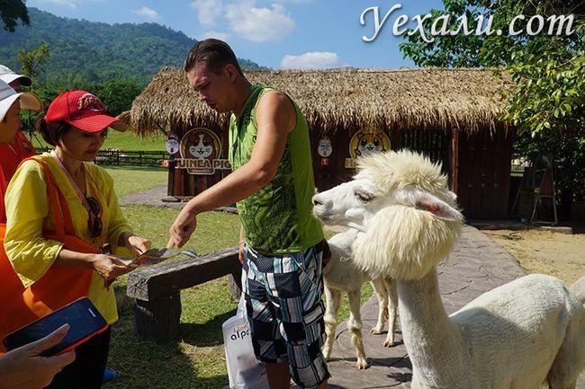 Екскурсія земля королів і альпака парк - наша найулюбленіша в таїланді. Вона стоїть своїх грошей!