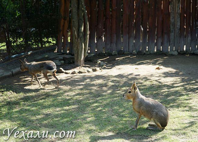 Патагонские зайці в Таїланді