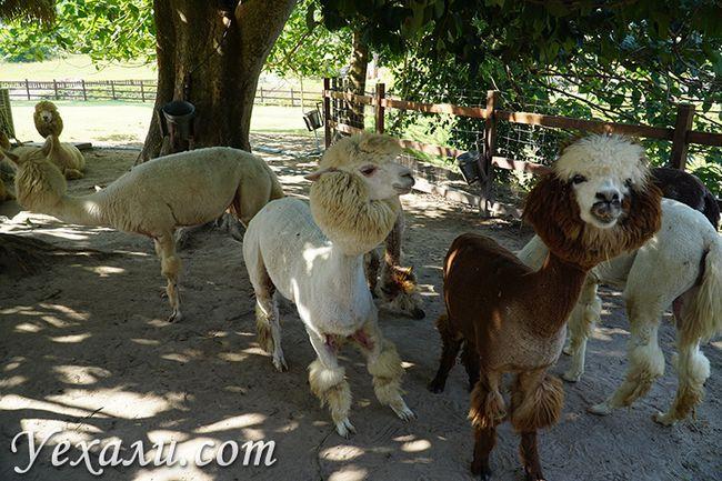 Альпаки з Латинської Америки в Таїланді