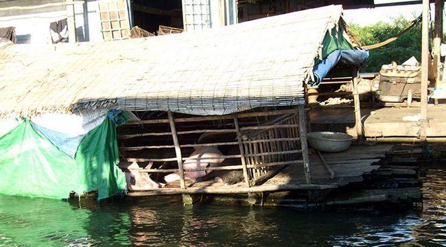 Озеро Тонлесап в Камбоджі, фото свиноферми.