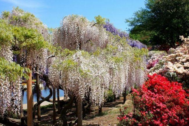 Парк квітів асікага (ashikaga flower park) острів хонсю, японія