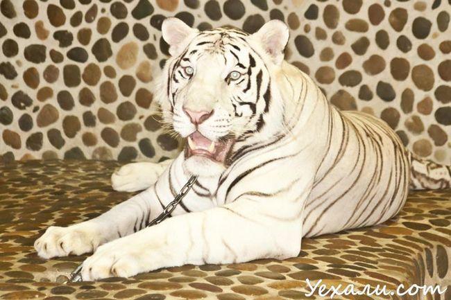 Фото з тигром