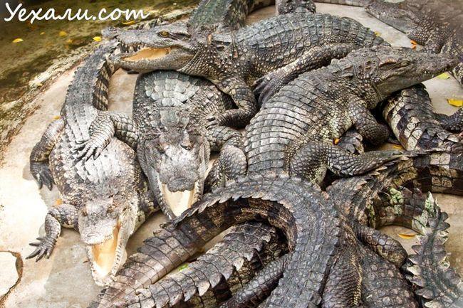 Крокодиляча ферма в Паттайя