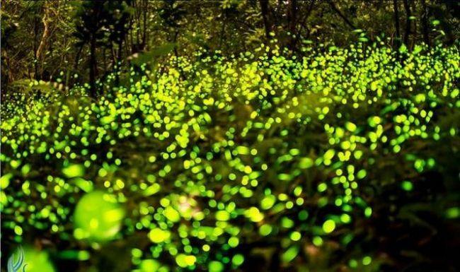 Парк світлячків (fireflies park) в куала селангор, малайзія