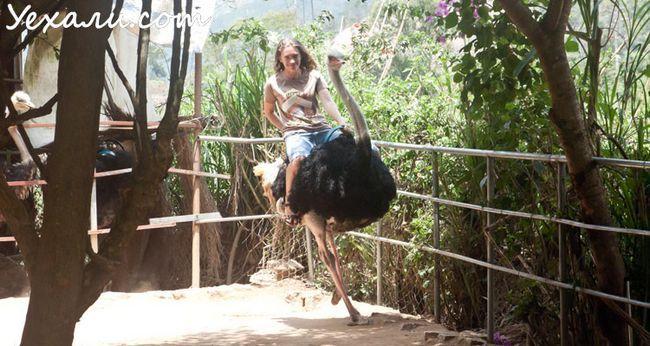 Розваги у В`єтнамі: катання на страусів