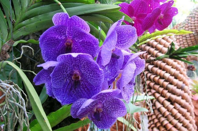 Ботанічний сад Нонг Нуч в Паттайя, орхідеї