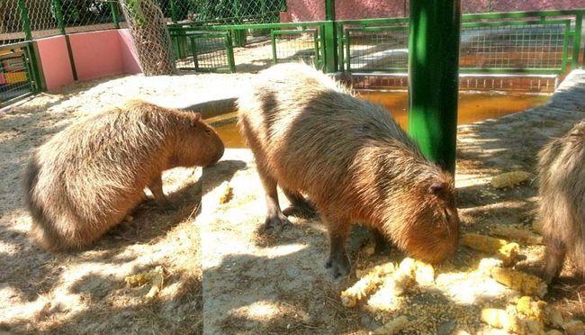 Сафарі парк в Бангкоку: капібари