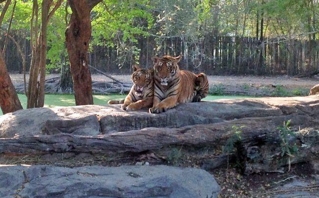 Сафарі-парк, Бангкок (Safafi World): тигри