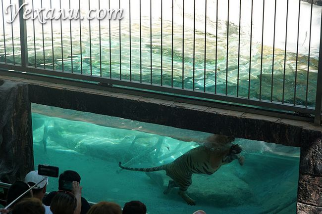 Тигр плаває на шоу