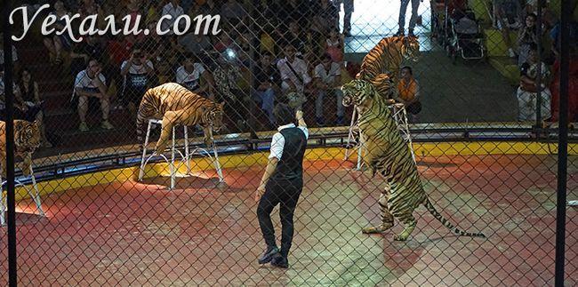 Шоу тигрів у зоопарку Сірача