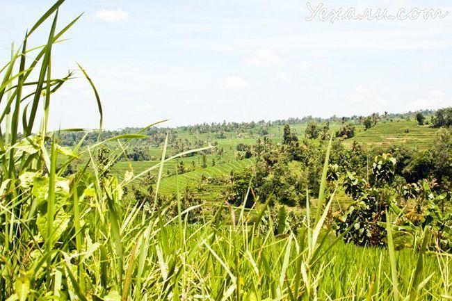 Рейтинг пам`яток острова Балі: рисові тераси Джати Лувіх