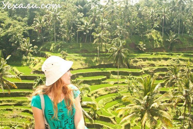 Rice terraces Tegellalang