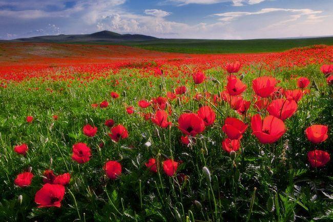 Весняні поля і гори, «забарвлені» маками, лавандою і маральнік