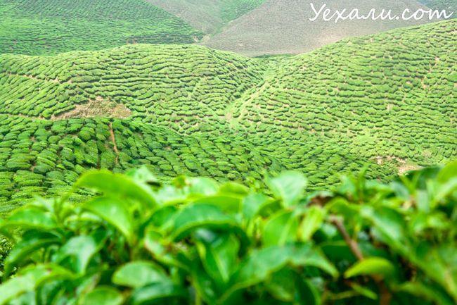 Пам`ятки Cameron Highlands: чайні плантації
