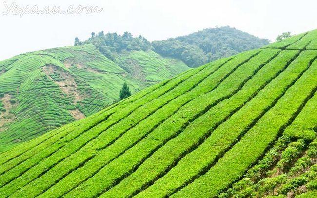 Чайні плантації Cameron Highlands, Малайзія.