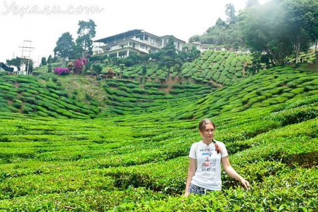 Чайні плантації Камерон Хайлендс, Малайзія.