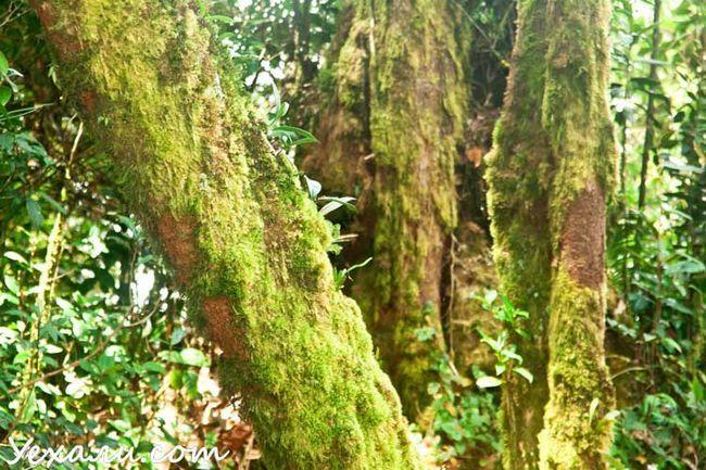 Mossy Forest, Cameron Highlands, Малайзія.